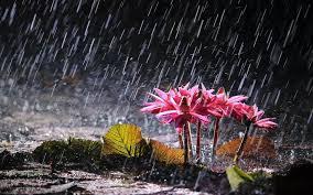 rain on flower